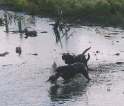 Canada duck hunting retrievers, Canada duck guides