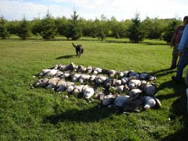 Saskatchewan waterfowl hunting, saskatchewan goose and saskatchewan duck with saskatchewan waterfowl outfiters and waterfowl guides